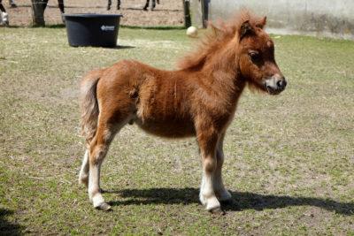 Junges Pony steht auf Wiese Reiterhof Witt auf Fehmarn