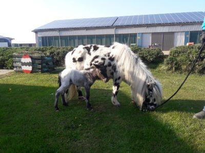 """Geboren an Ostern auf dem Küselhof: Jungtier Fohlen Knabstrupper-Stute """"Oreo"""""""